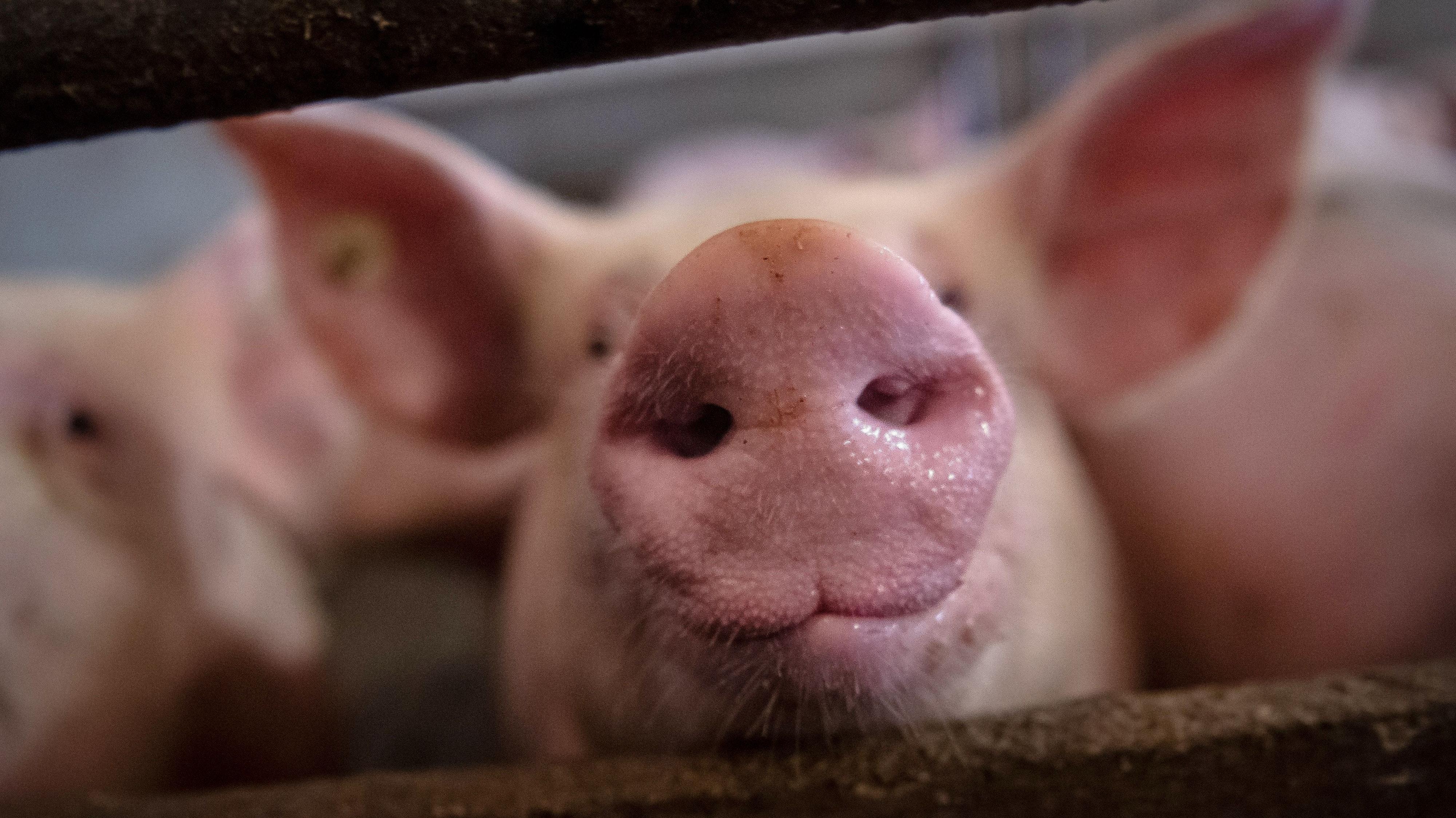 Unter Druck: Die Schweinehalter in Niedersachsen haben momentan mit den Auswirkungen der Coronakrise und der Afrikanischen Schweinepest zu kämpfen. Foto: dpa/Schuldt
