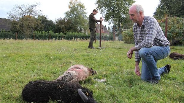 Wolf reißt 5 Schafe in Barnstorf