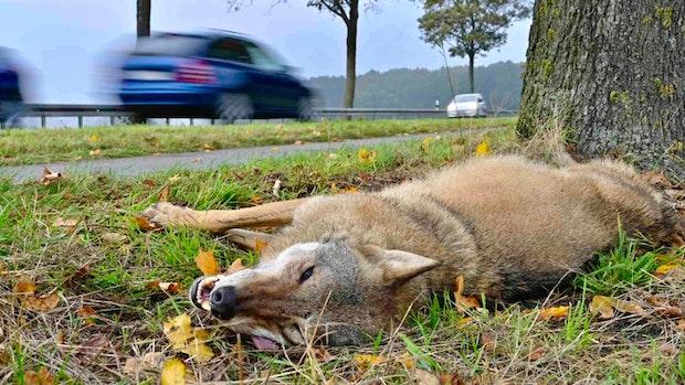 Wolf wird bei Autounfall getötet