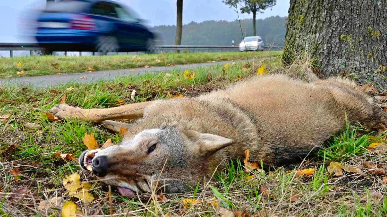 Tod durch Autounfall: Eine Wolfsfähe an der B51 bei Dreeke. Foto: M. Niehues
