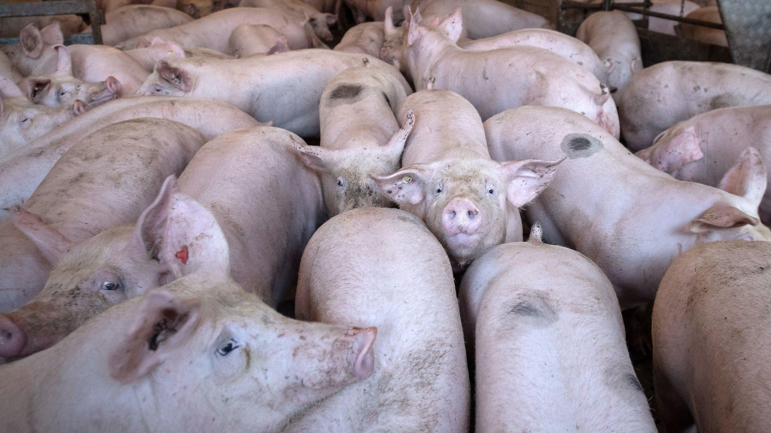 Weniger Schlachtungen – mehr Schweine: Es wird eng für die Tiere im Stall. Foto: dpa/Schuldt