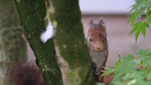 Eichhörnchen haben sich tüchtig vermehrt