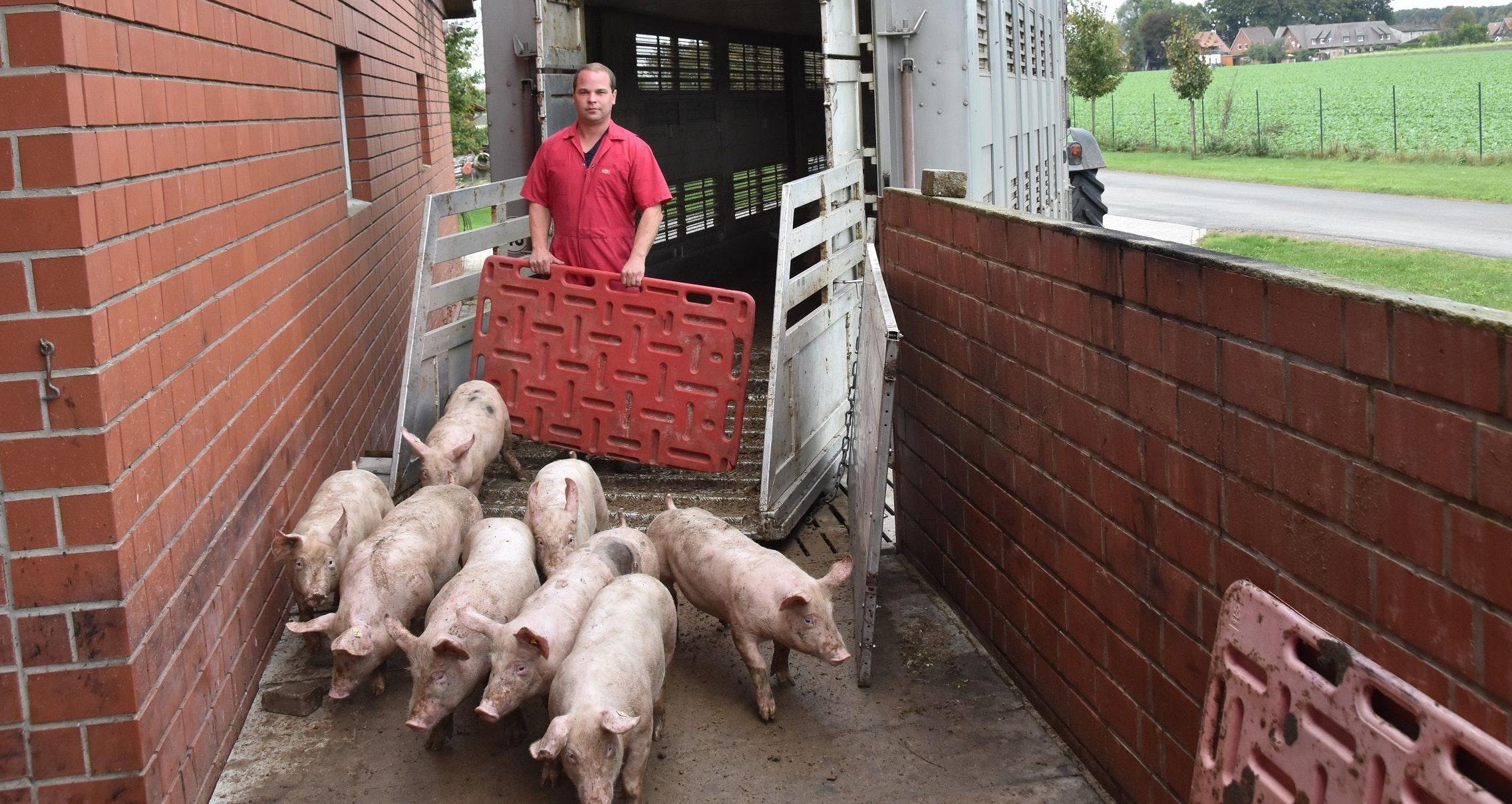 Neue Ferkel: Sören Meyer leitet die Jungtiere aus eigener Erzeugung in den Maststall. Dass es darin Platz für neue Schweine gibt, ist derzeit nicht selbstverständlich. Foto: Tzimurtas