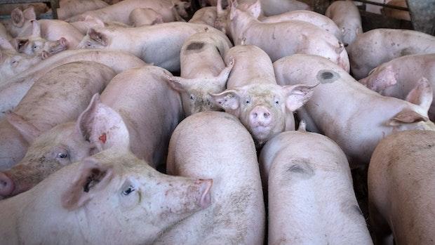 Schweine-Stau wächst weiter an