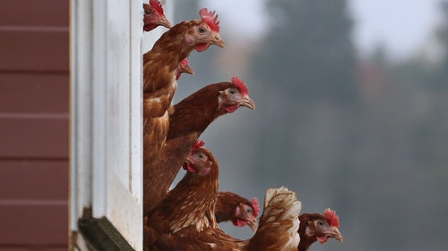 Geflügelpest: 72.000 Hähnchen müssen in Lastrup gekeult werden
