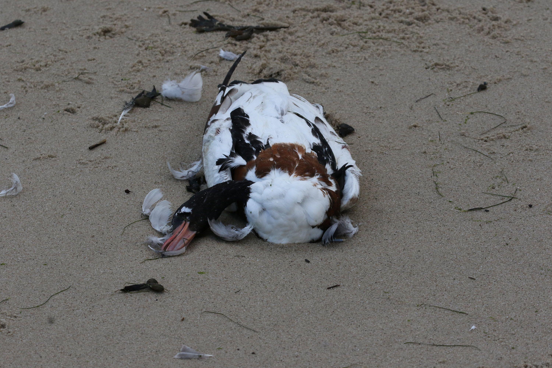 Eine tote Brandgans liegt am Südstrand von Wilhelmshaven. Das Tier ist vermutlich an der Vogelpest verendet. Foto: dpa/Zwoch/Nationalpark Niedersächsisches Wattenmeer