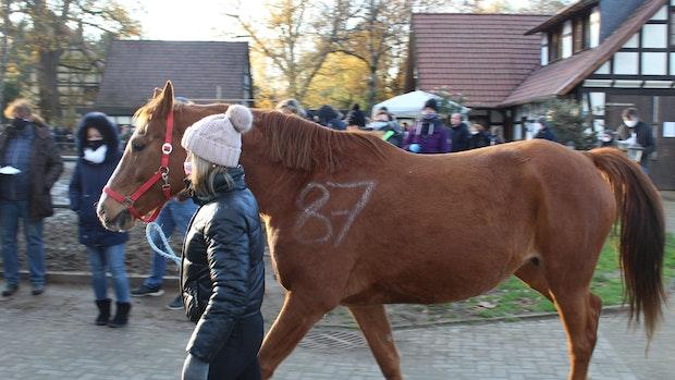 Bis zu 7000 Euro pro Tier: Kreis Vechta versteigert 103 Pferde