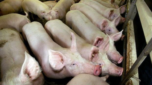Schweinehalter fordern Corona-Nothilfen