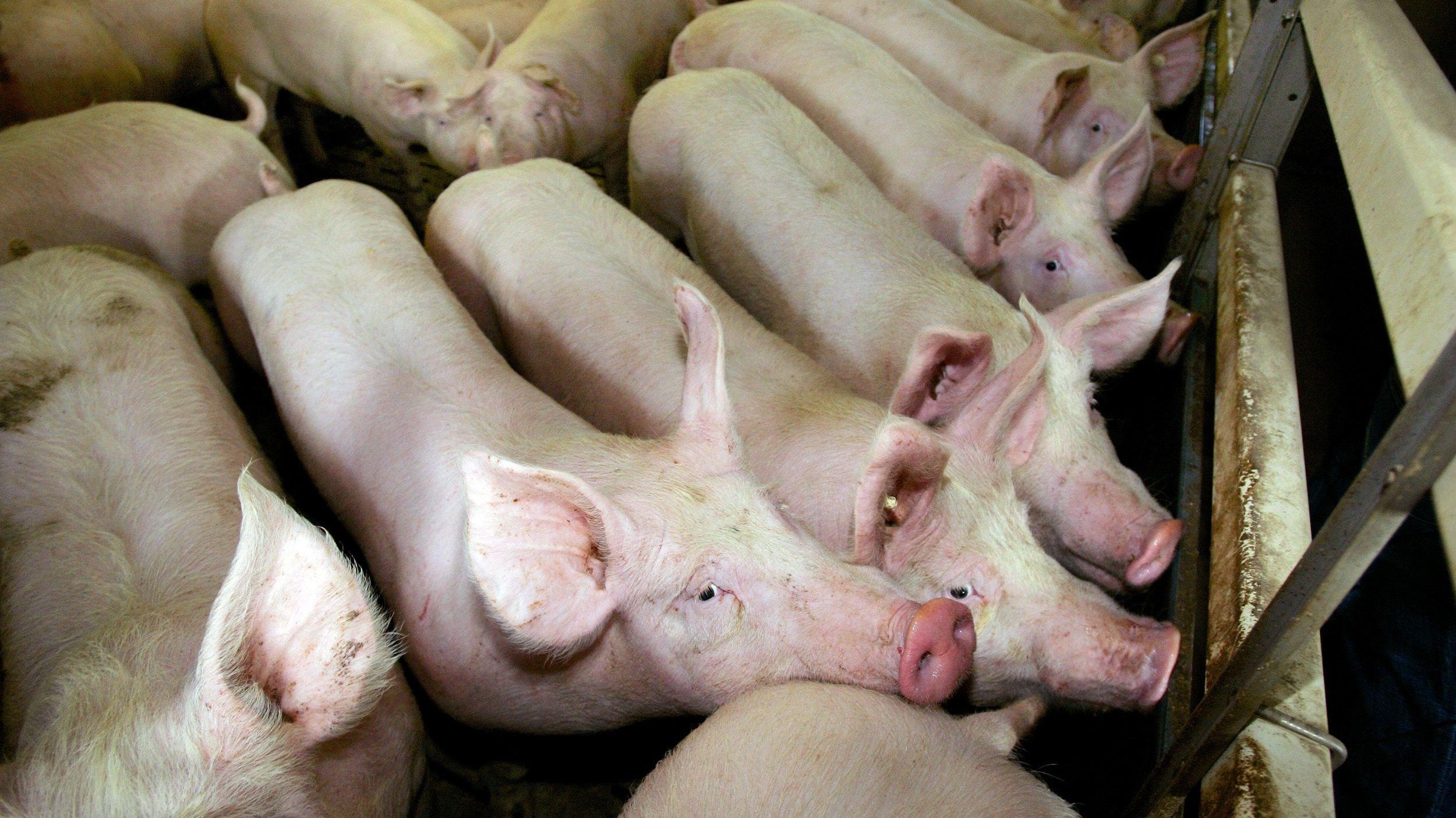 Es wird immer enger in den Ställen: Mäster werden ihre Schweine schwer los. Foto: dpa/May