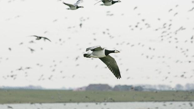 Geflügelpest in Nordfriesland: Etwa 1.000 tote Wildvögel