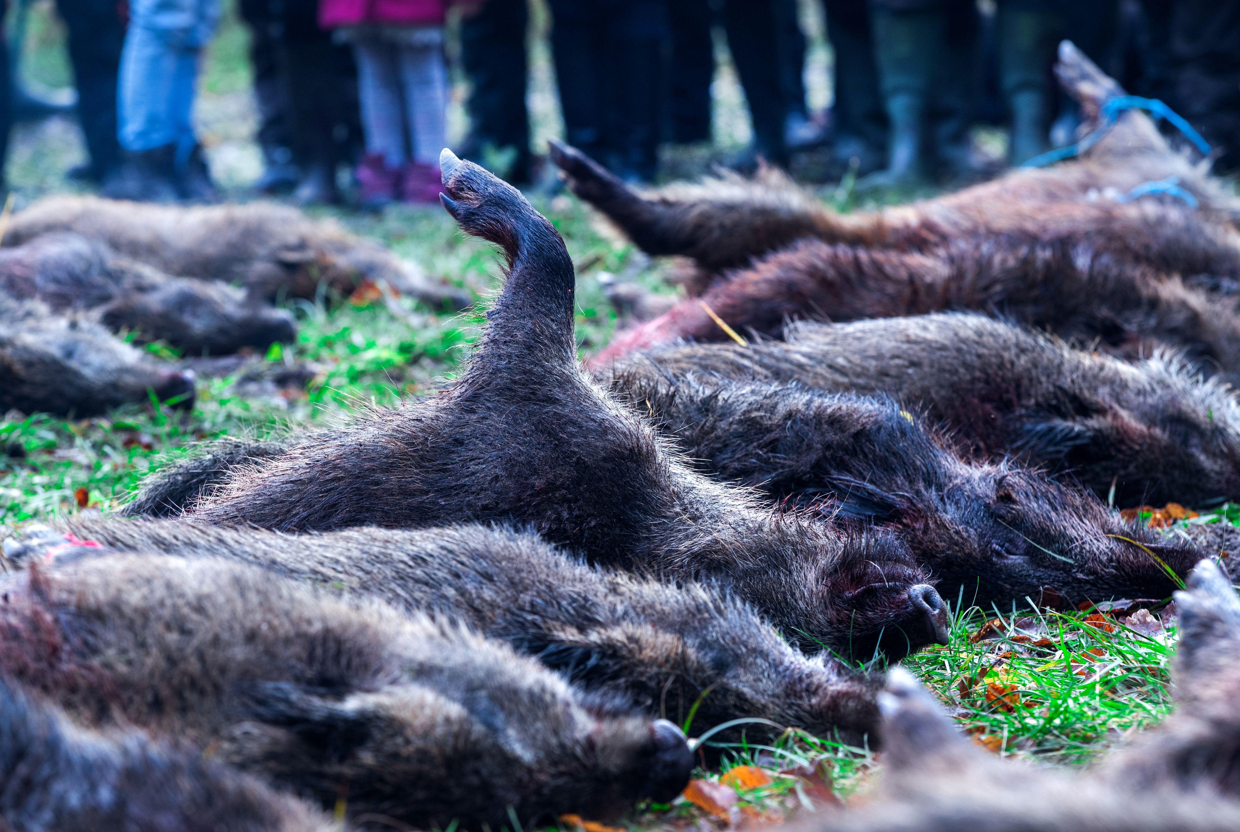 Das Ende einer Treibjagd: Die Wildschweine werden in Strecke gelegt. Darauf soll in Corona-Zeiten verzichtet werden. Foto: dpa / Büttner