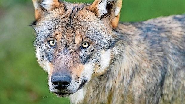 September:Wolf greift Fohlenin Friesoythe an