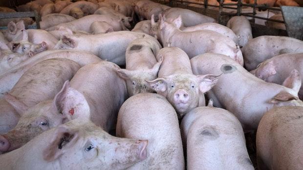 Schweinehalter erleben Krisenjahr