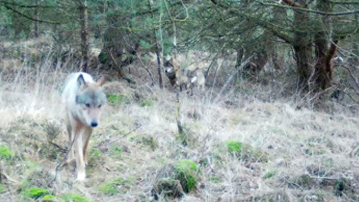 Im Goldenstedter Moor leben vier Wölfe - OM online