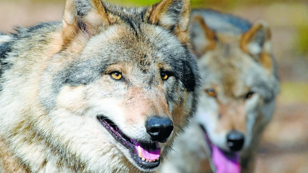 Nach Tötung von Wölfin vorerst keine Jagd