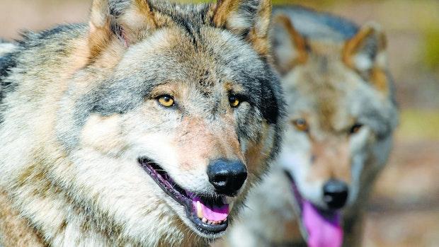 Bundesumweltministerin: Wölfe nicht einfach so abschießen