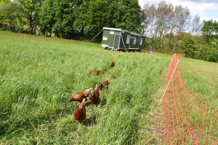 Neugierig: Einige Hühner folgen dem Reporter, als dieser das Gehege verlassen will. Im Hintergrund kümmert Kurre sich um seine Hennen. Foto: Ebert