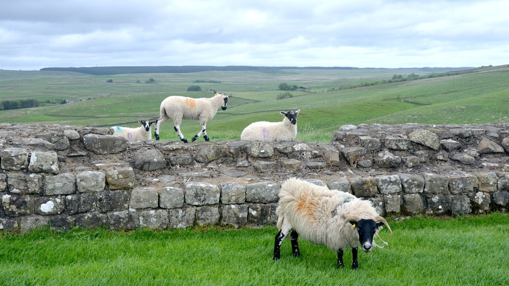 Schafe sind entlang des Hadrianswalls immer wieder zu sehen - wie hier östlich von Haltwhistle. Foto: dpaHeimann