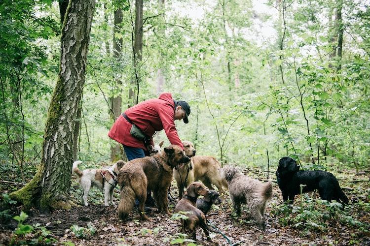 Vera Schraders Hunde-Gruppe umfasst immer etwa neun bis elf Tiere. Foto: dpaScheurer
