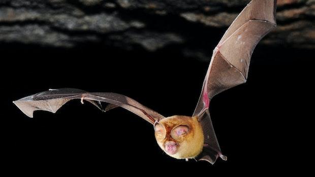 Corona-Panik gefährdet Fledermäuse
