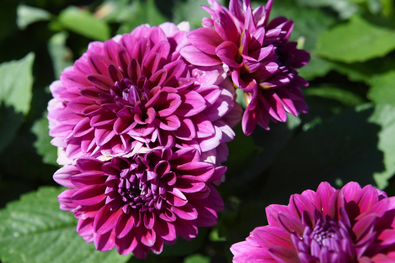 Dahlien werden schon im Mai gepflanzt. Foto: dpa/Warnecke
