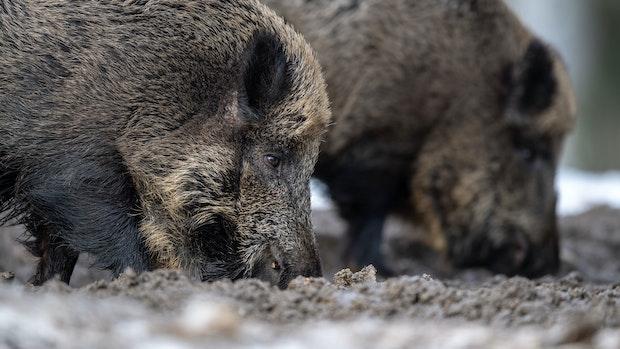 Landkreis stellt sich auf Schweinepest ein