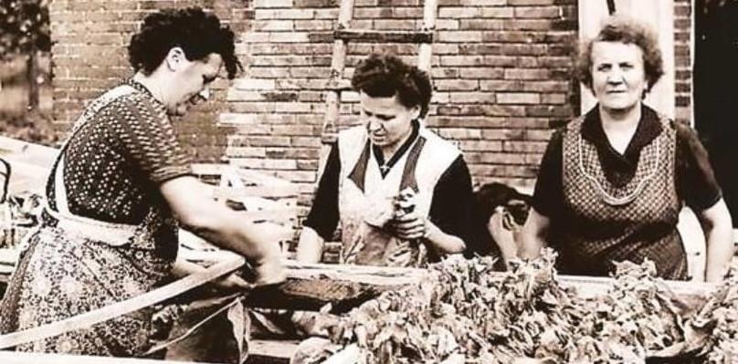 Sorgfalt gefragt: Drei Frauen in der Blockschen Tabakverarbeitung sortieren und bündeln die Tabakblätter.  Foto: Archiv Martin Pille