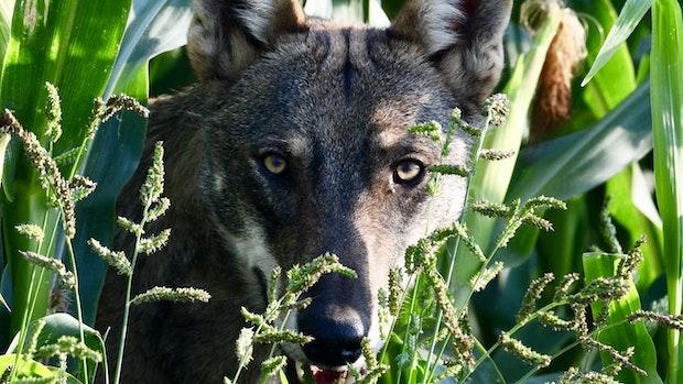 Breher fordert mehr Tempo bei Wolfsverordnung