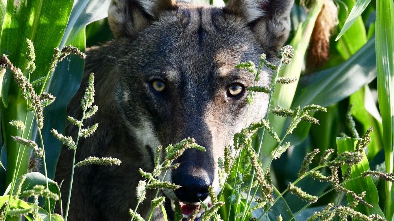 Wird ein Wolf zur Gefahr, muss der Mensch sich wehren dürfen, fordern nicht nur Weidetierhalter. Foto: M. Niehues