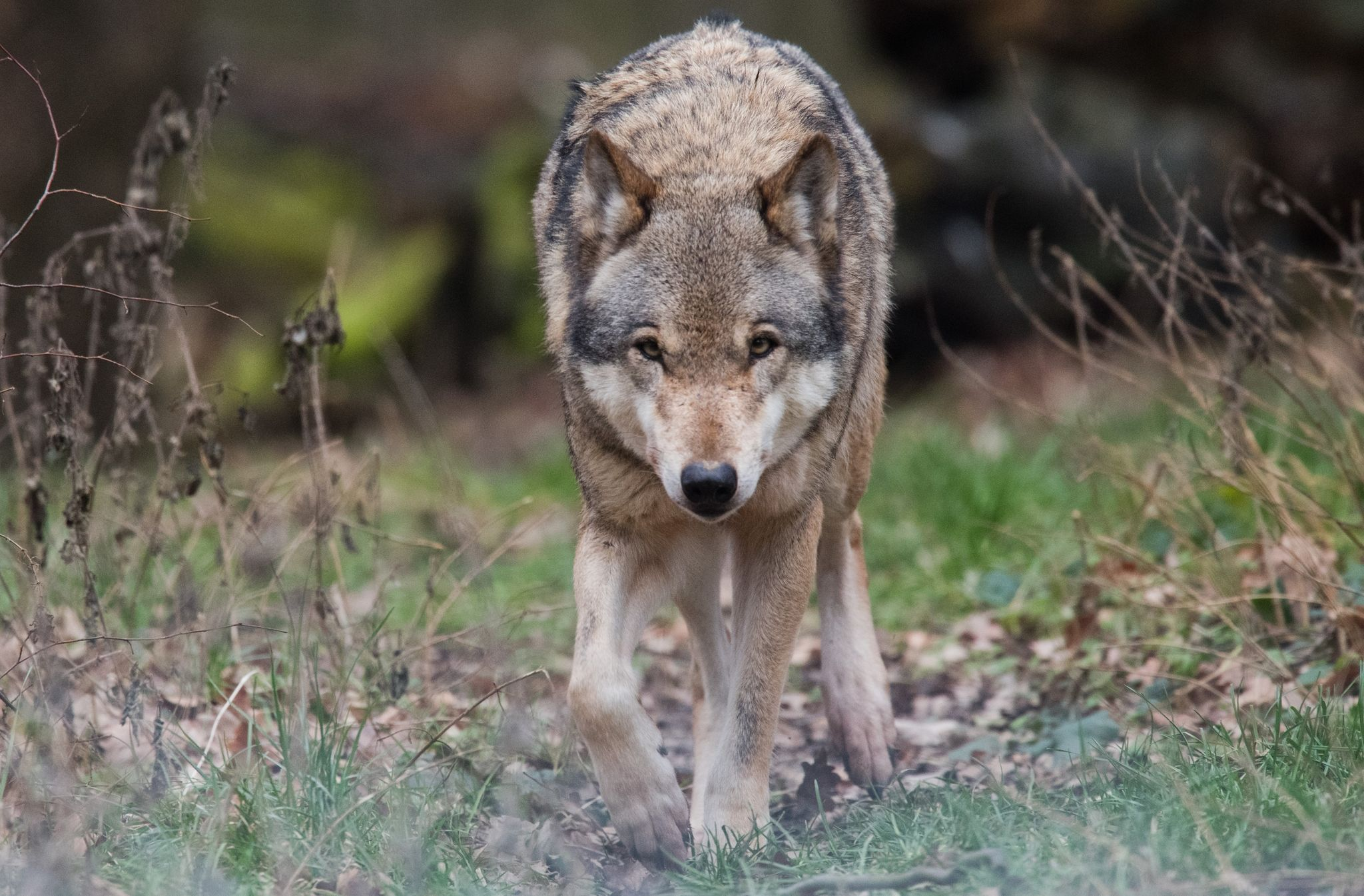 Zwei Wölfen aus den Rudeln bei Ebstorf und Eschede waren mehrere Risse von Schafen nachgewiesen worden. Foto: dpa