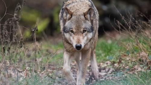 Weil: Mehr Abschüsse von Wölfen nötig
