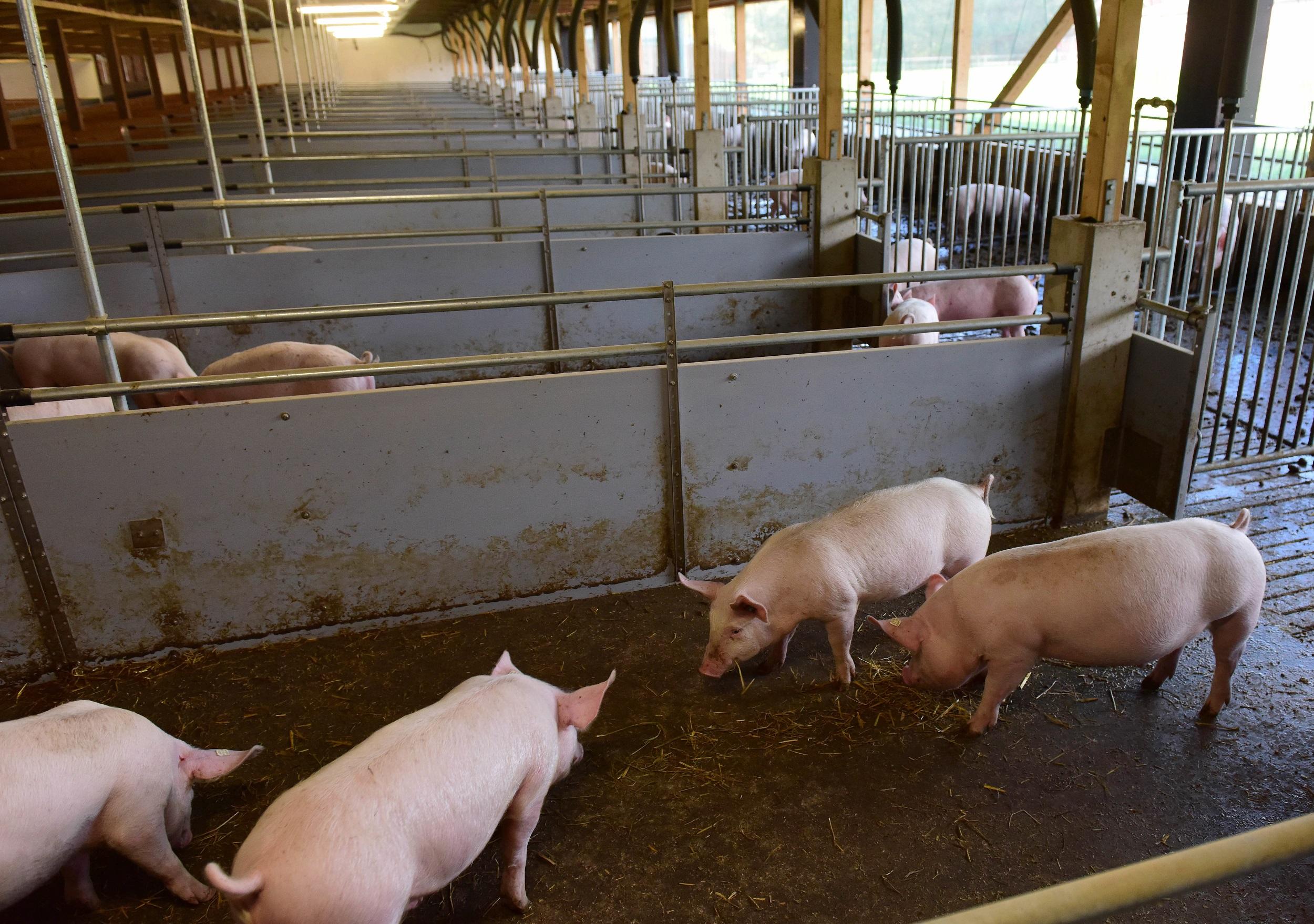 Ein Zukunftsmodell: In einem sogenannten Offenstall sind Schweine auch an der frischen Luft. Doch die Genehmigungen bleiben weiter schwierig. Foto: dpa/Pentermann