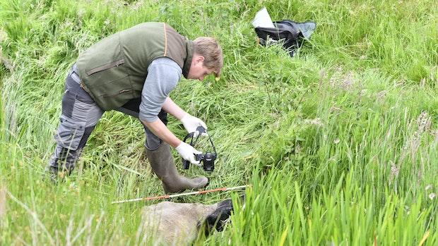 Wölfe reißen wieder Schafe in der Nähe des Moores
