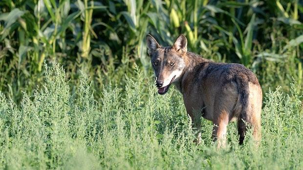 Wolfsberater fordert Rechtssicherheit