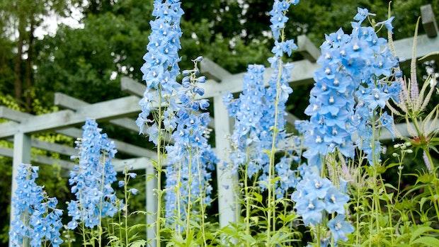 Verwöhnter Rosenkavalier: Wie der Rittersporn im Garten überlebt