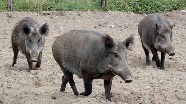 Landvolk warnt vor Afrikanischer Schweinepest