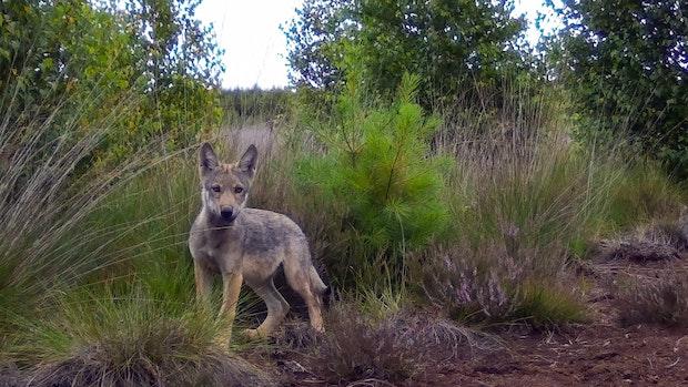 Die Goldenstedter Wölfe haben Nachwuchs