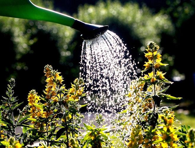 Blumen sollten im Sommer besser nicht von oben gegossen werden. Foto: dpa