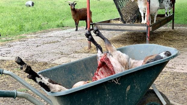 Wolf tötet Ziege in Lutten