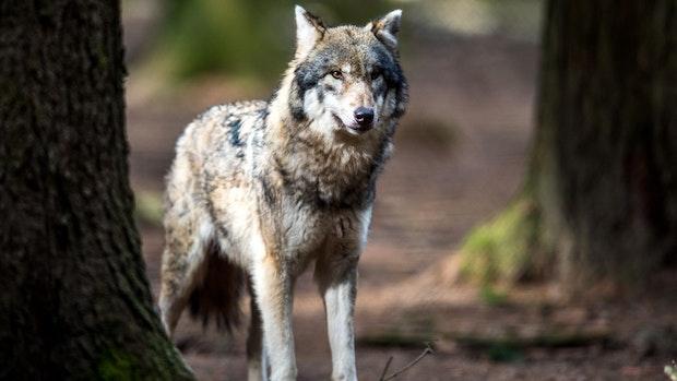 Wölfe kosteten Land 2020 bereits rund 3,4 Millionen Euro
