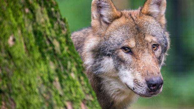 Nach Erleichterung für Wolfsabschuss: Kein Tier getötet