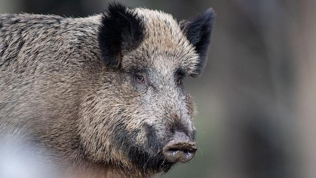 Verdacht auf Schweinepest in Brandenburg