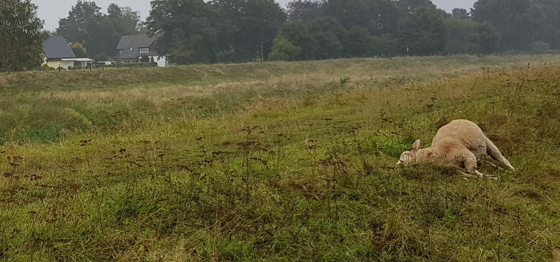 Tod am Hasedeich: Schäfer Egbert Ostermann fand am Mittwoch mehrere gerissene Schafe. Foto: Appeldorn