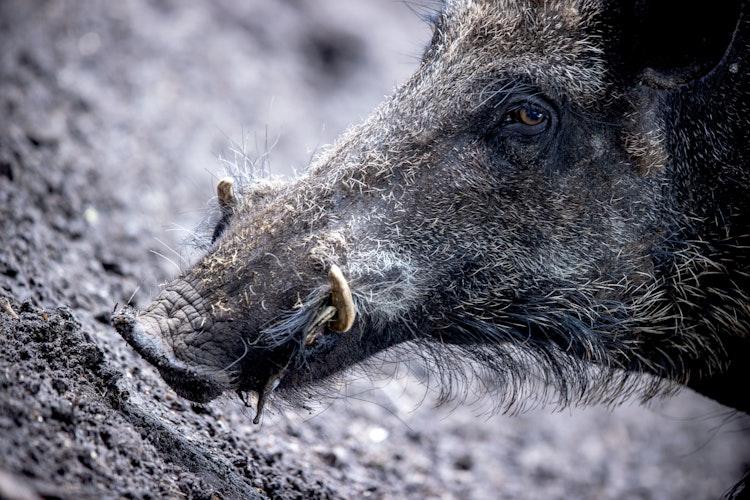 Wildschweine verbreiten die Afrikanische Schweinepest. Foto: dpa  Büttner