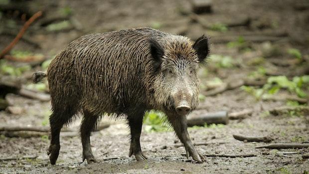 Afrikanische Schweinepest breitet sich in Brandenburg aus