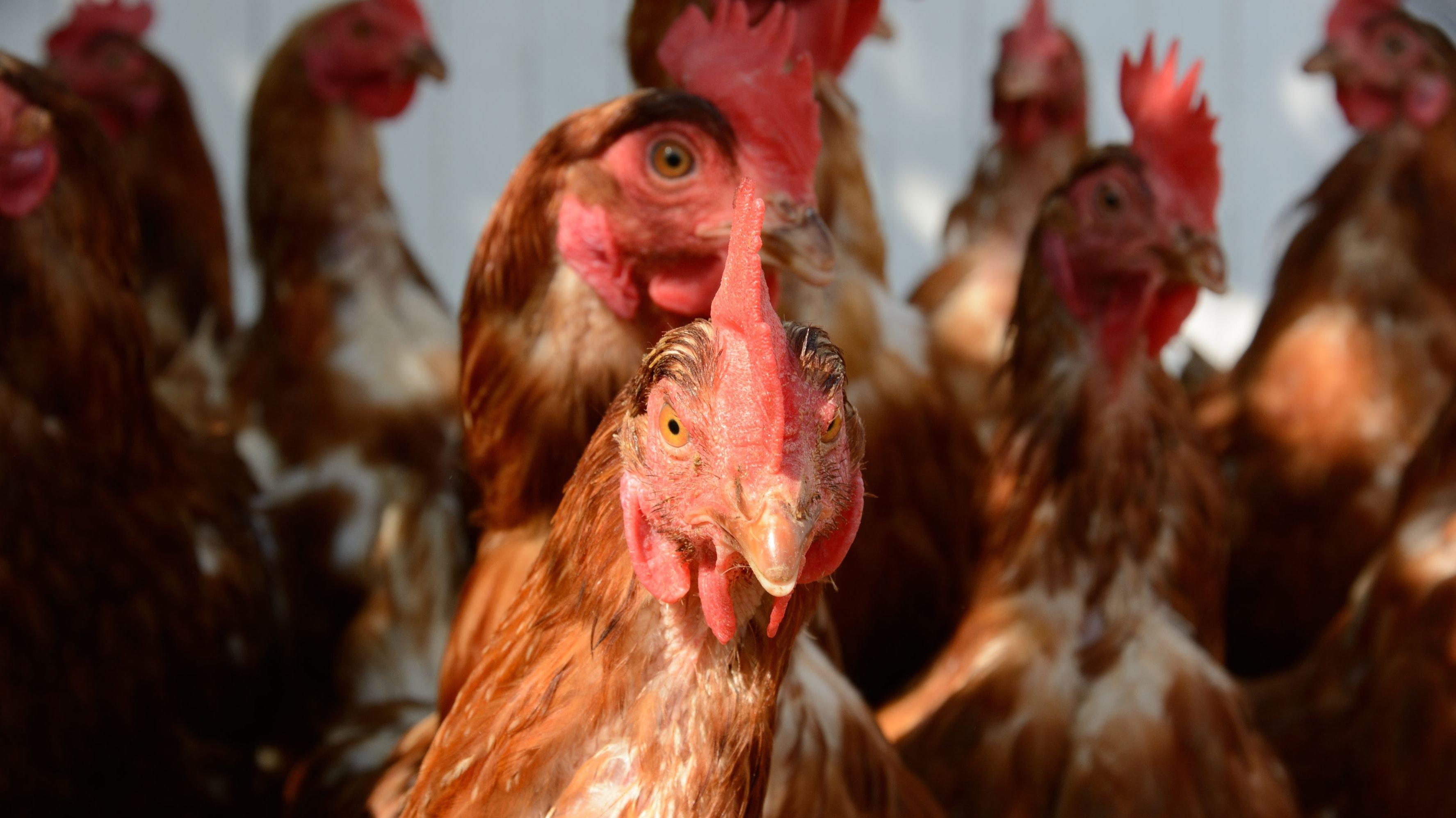 Niedersachsen ist Geflügelland Nummer eins: Die Branche begrüßt die Ergebnisse der Borchert-Kommission. Foto: pixelio / Aron