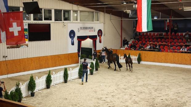 Oldenburger Pferdezuchtverband zieht ein positives Fazit