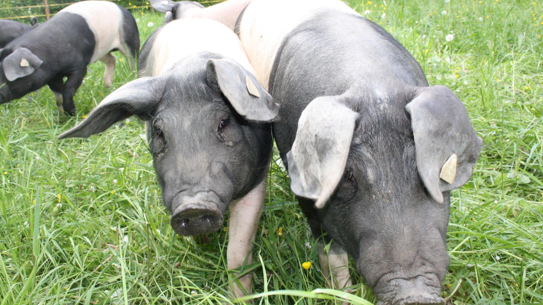 Schweine im Freien: Die Haltung ist artgerecht, aber die Tiere sind einem höheren Risiko bei der Ausbreitung von Seuchen wie der Afrikanischen Schweinepest ausgesetzt. Foto: dpa/Engel