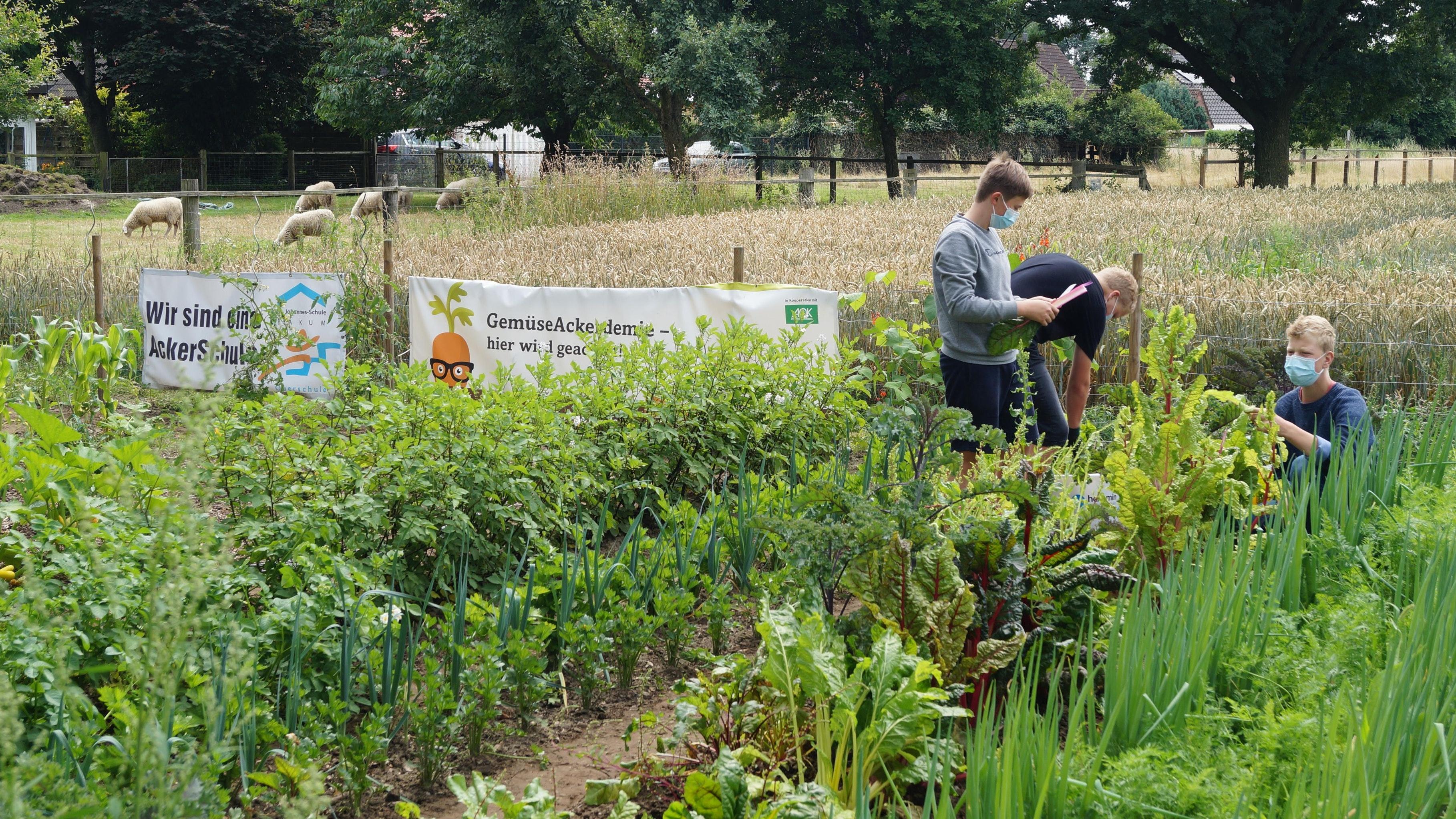 Grün an grün: In Bakum bewirtschaften Oberschüler im Rahmen einer Acker-AG eine Ackerfläche – auch in den Ferien. Foto: C. Meyer