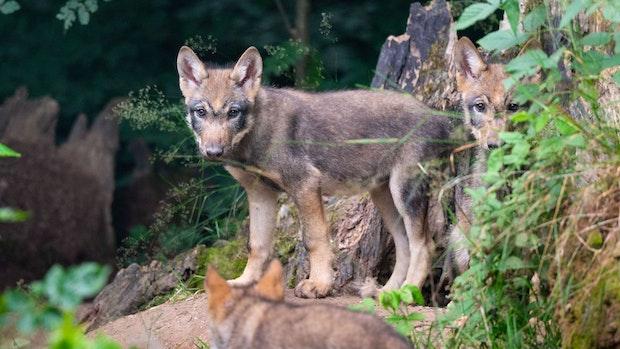 Die Spuren sprechen für Wolfsnachwuchs im Moor